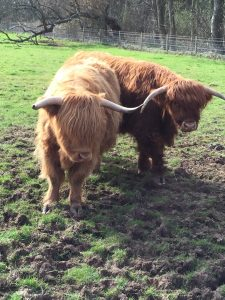 2 highland cows