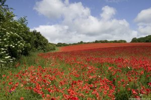 View across a field of red poppies in Gloucestershire.