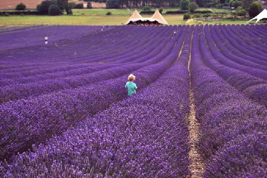 Field of purple lavender in Hitchin